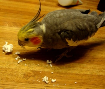 My bird eating popcorn