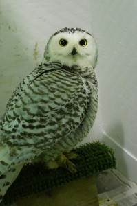 A snowy owl at Bird TLC