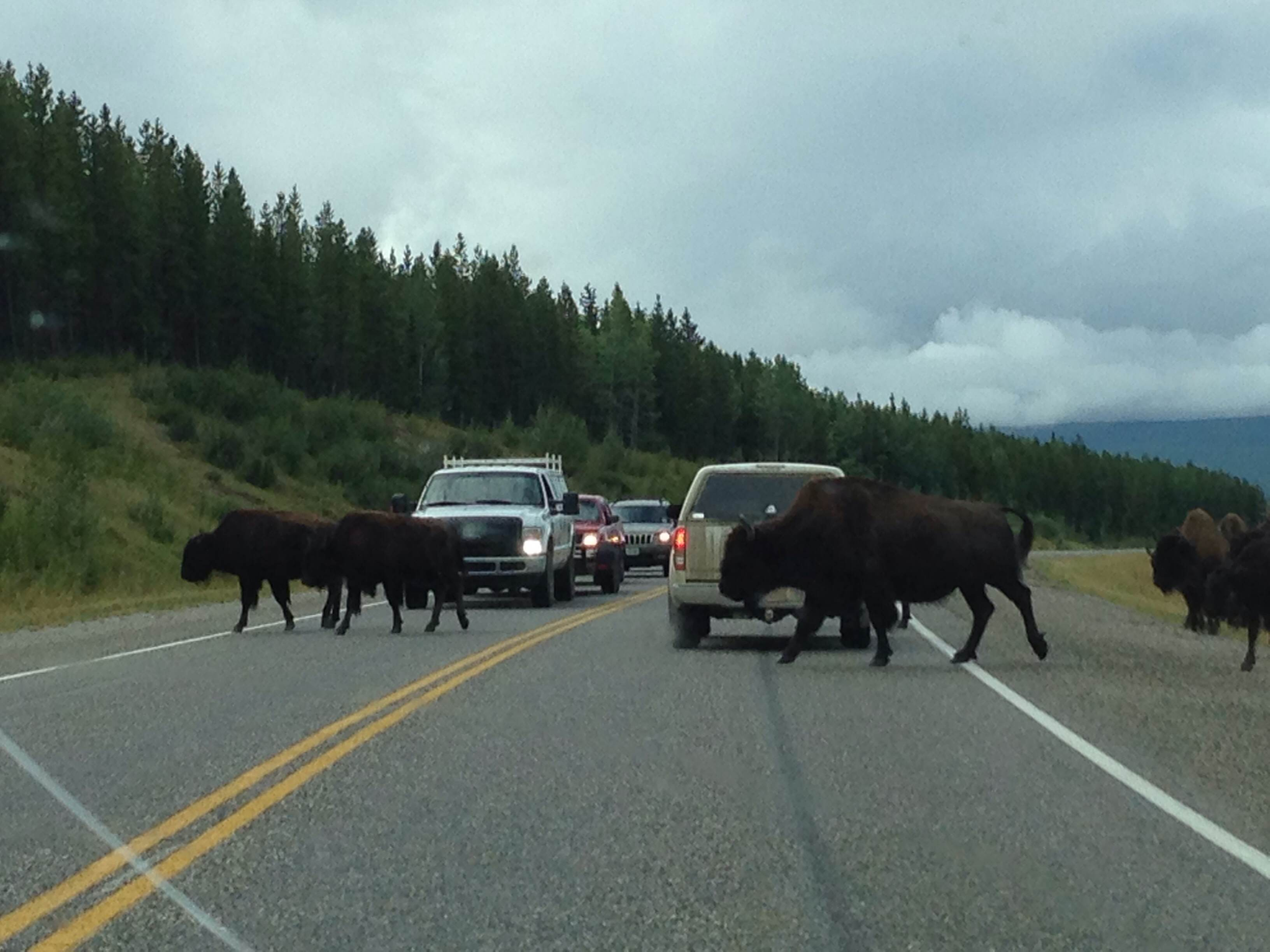Bison crossing the Alaskan Highway
