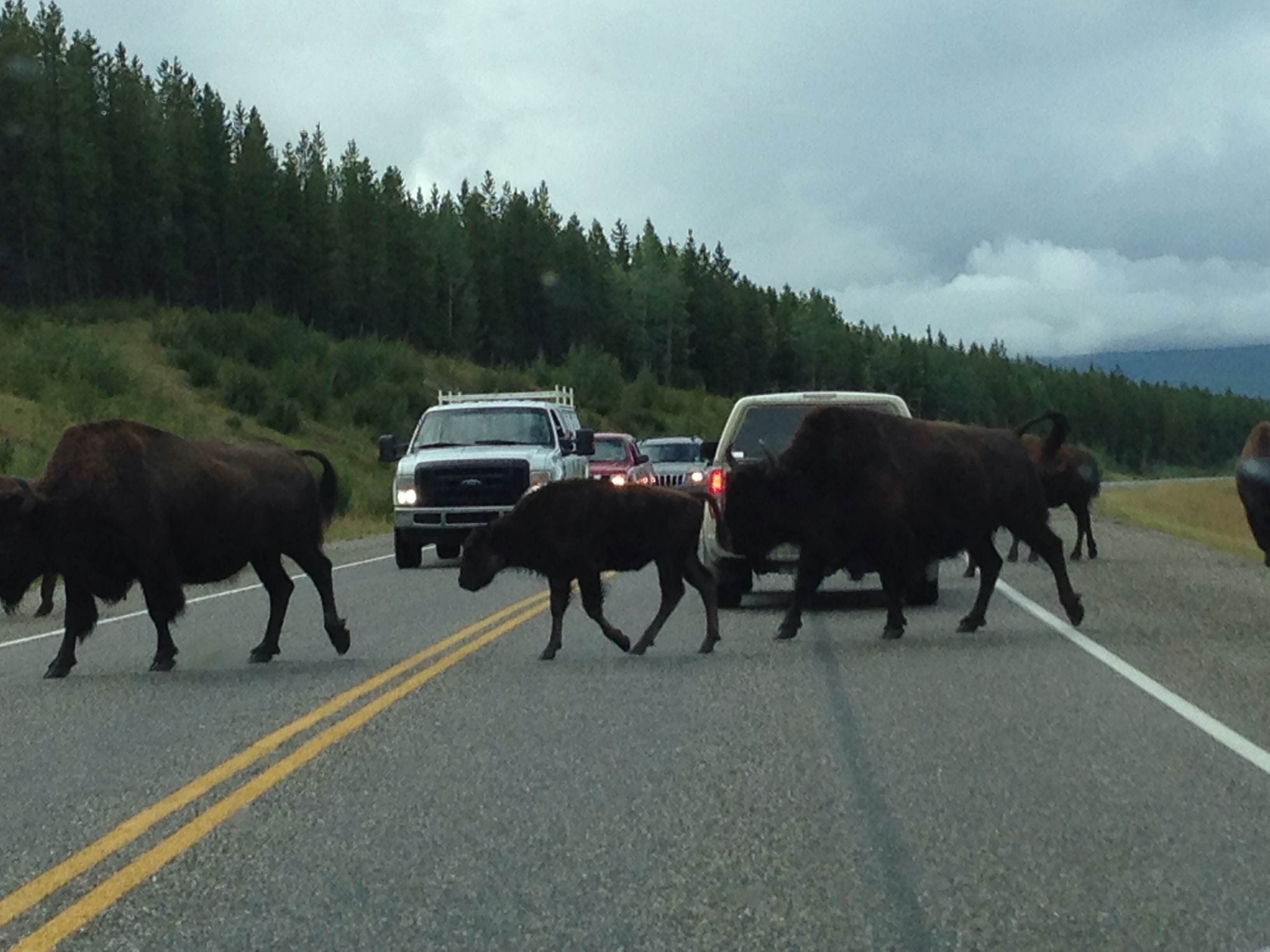 Bison crossing the Alaskan Highway - with calves!